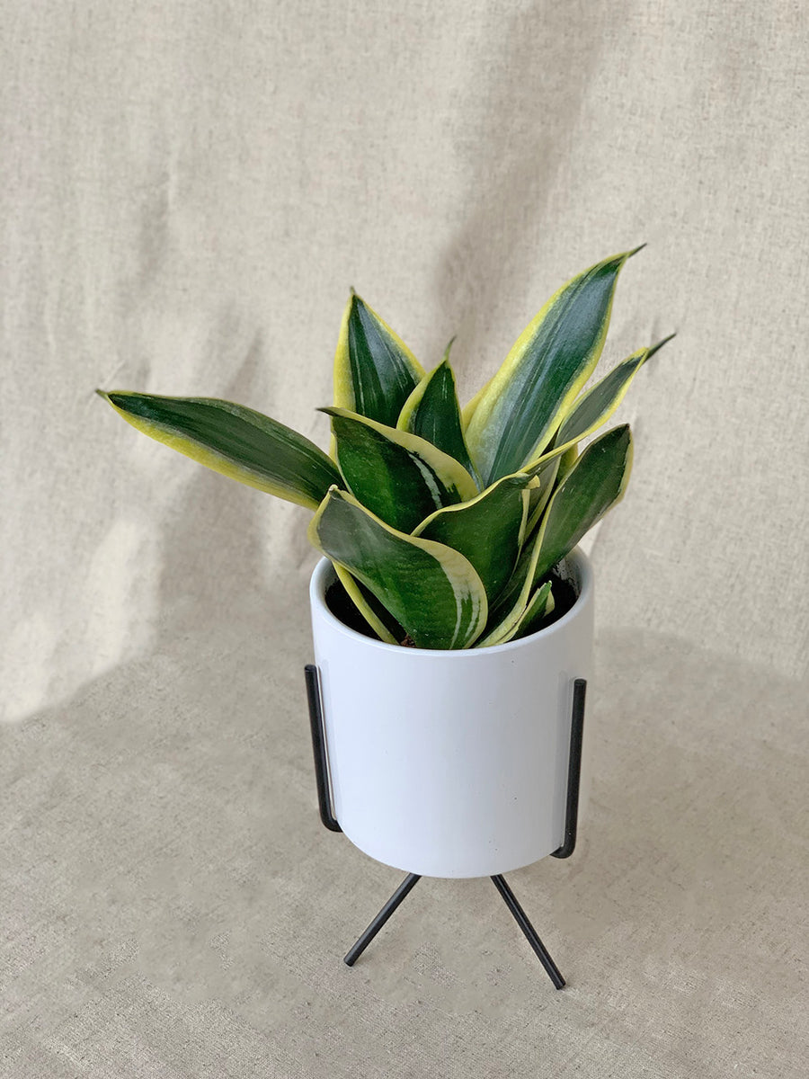 Sansevieria 'Black Gold' in White Table Stand Planter