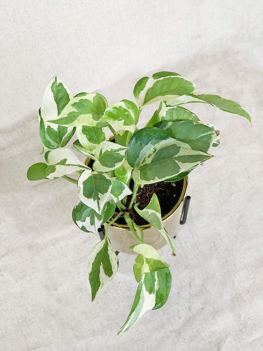 N'joy Pothos in Gold Table Top Plant Stand