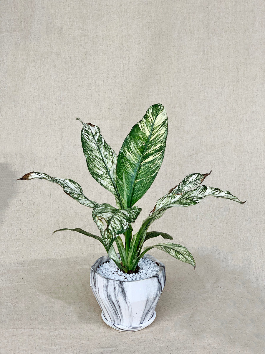 Dieffenbachia in White Marble Planter