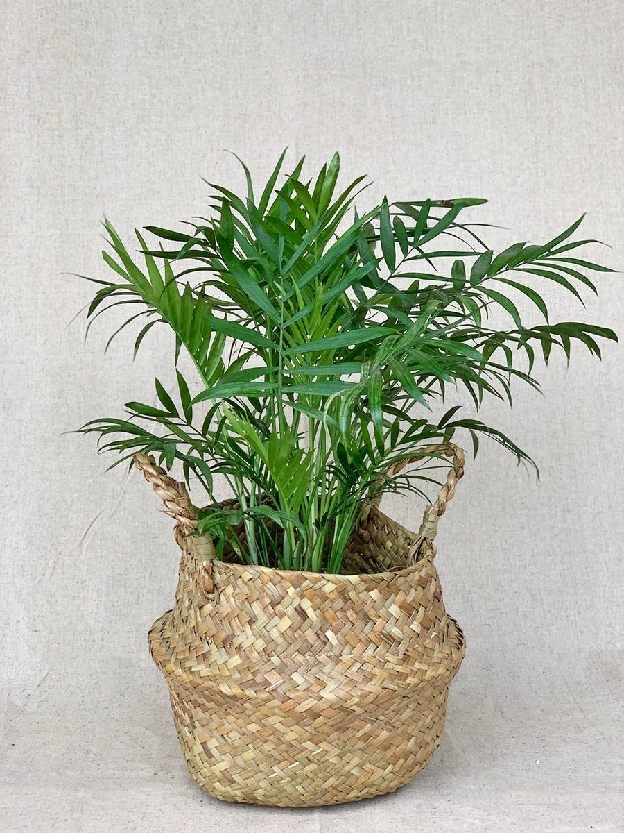 Parlor Palm Plant in Woven Basket
