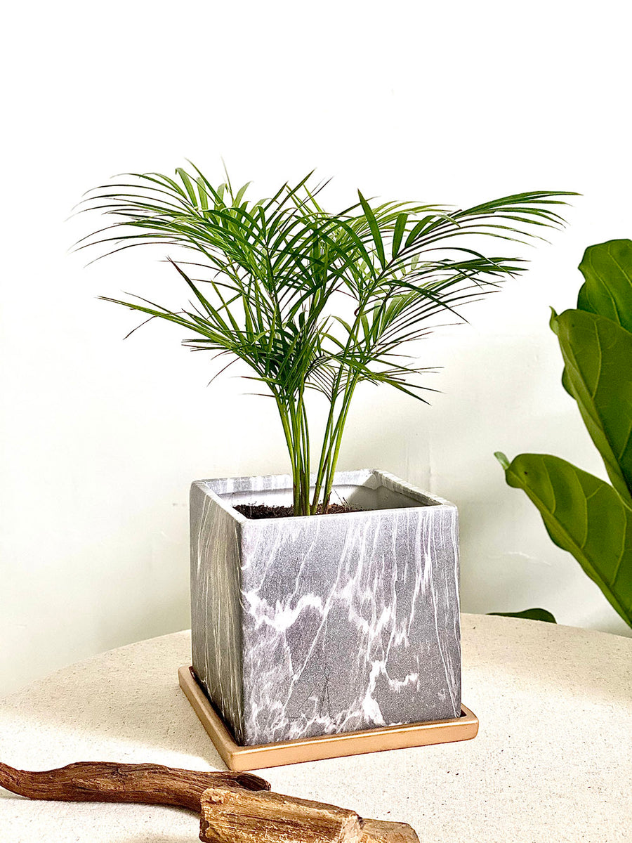 Modernist Marble Collection : Parlor Palm in Grey Square Planter