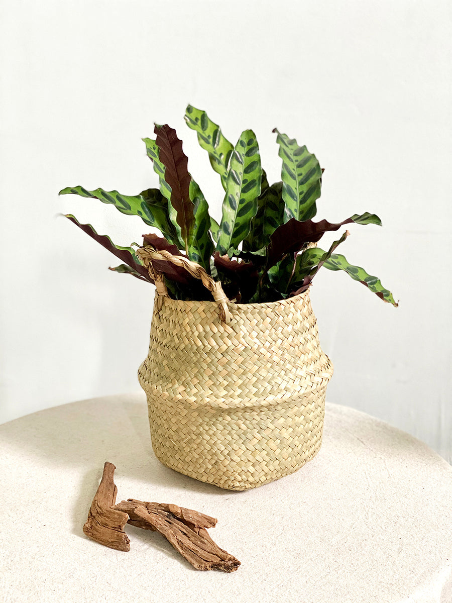 Rattlesnake Plant in Seagrass Basket