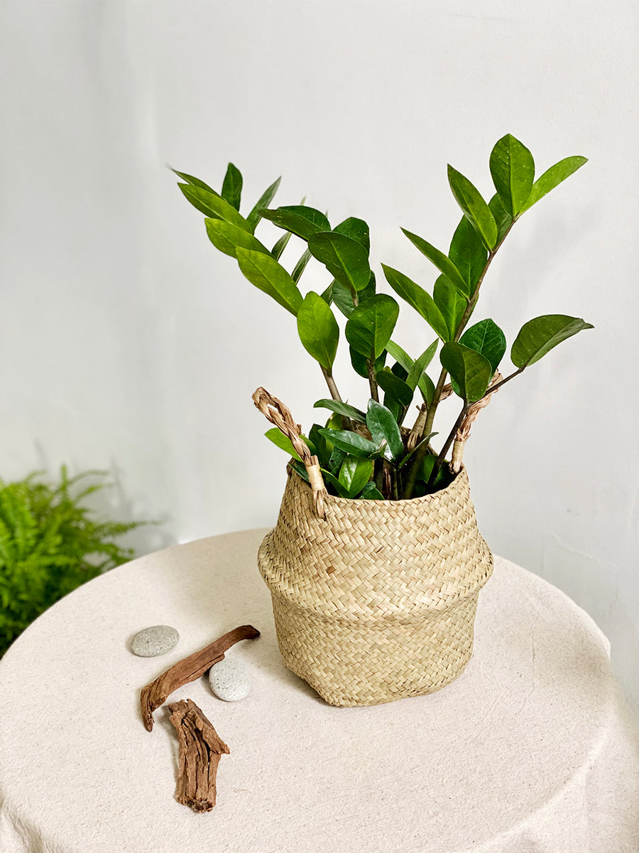 Zz Plant in Seagrass Basket