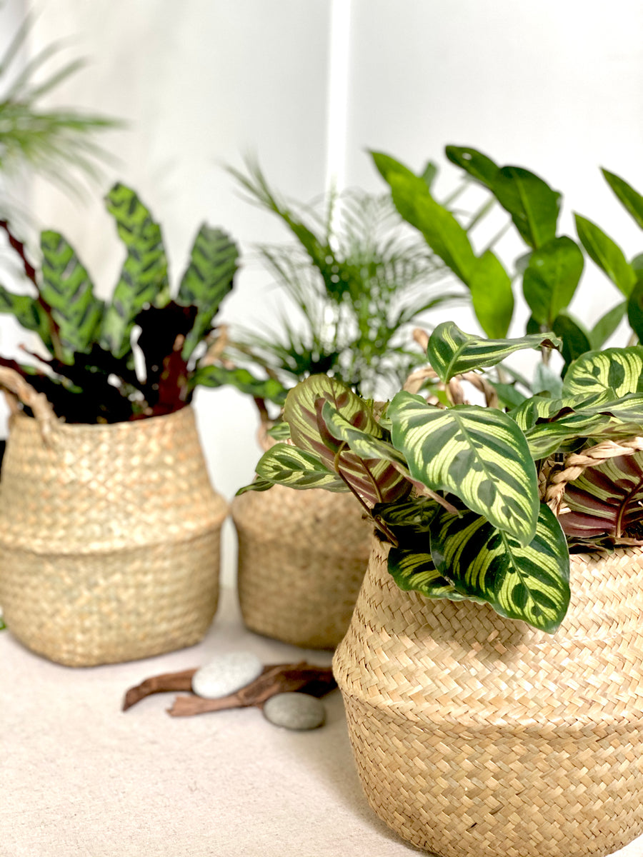 Calathea Peacock Plant in Seagrass Basket