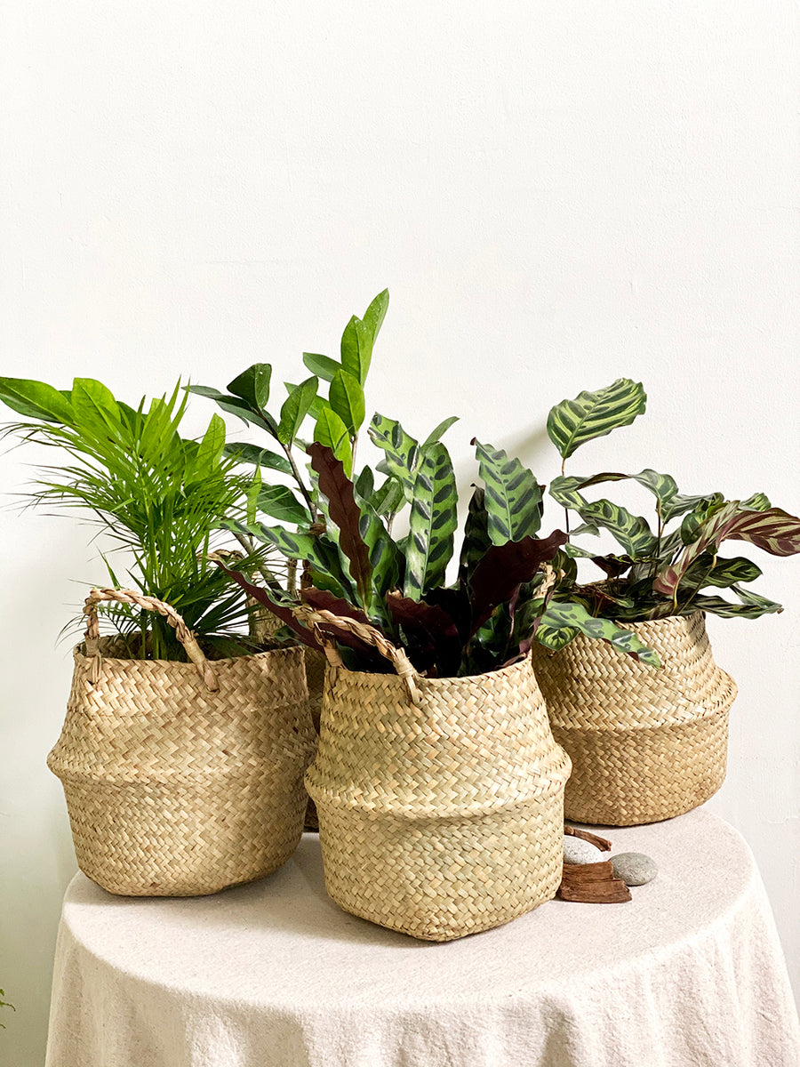 Palm Plant in Seagrass Basket