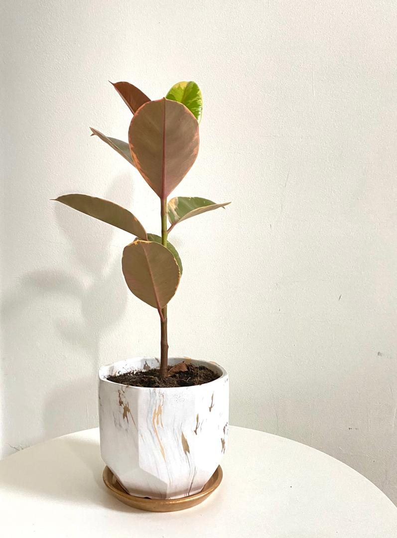 Serene Marble Collection : Ficus Elastica Ruby in Large White Planter