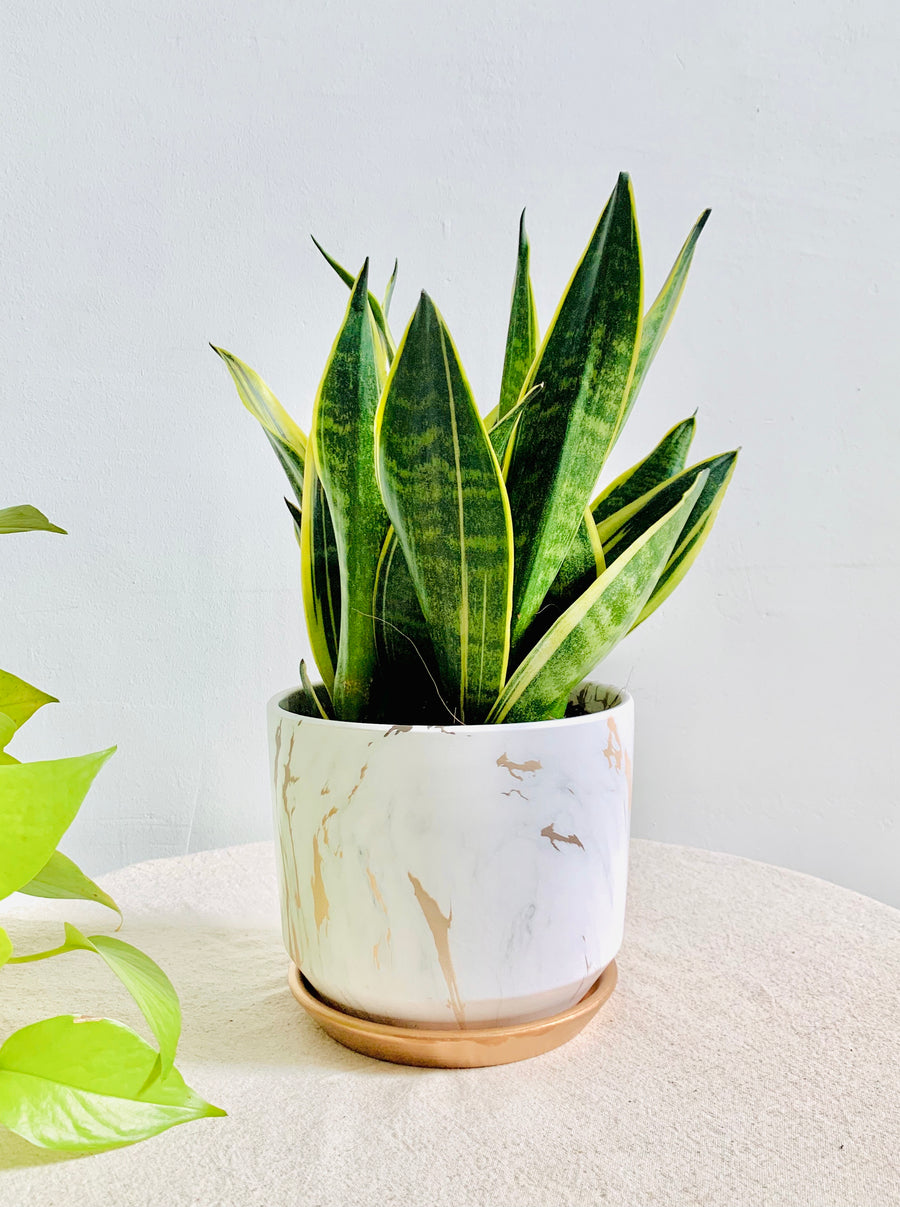 Serene Marble Collection : Sansevieria in Large White Round Planter
