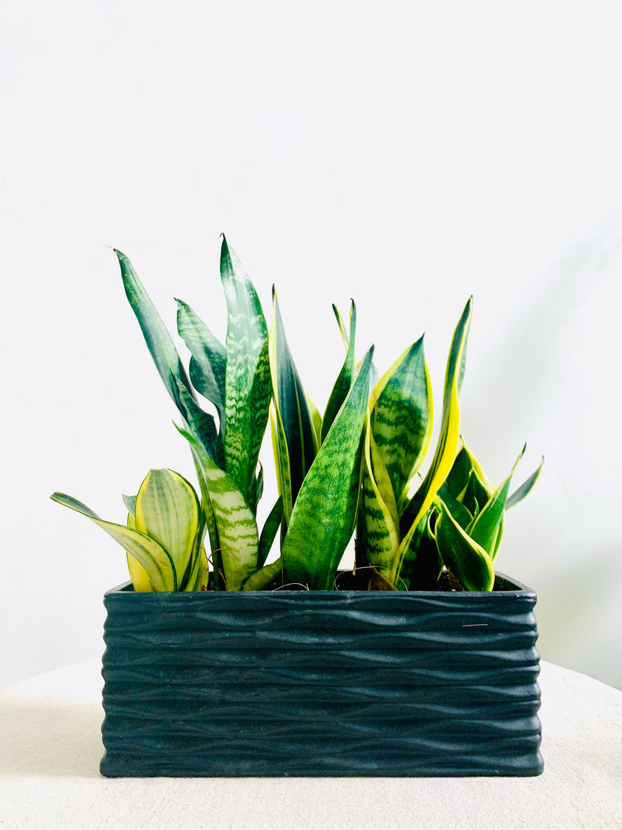 Sansevieria Block Party in Large Black Rectangle Planter