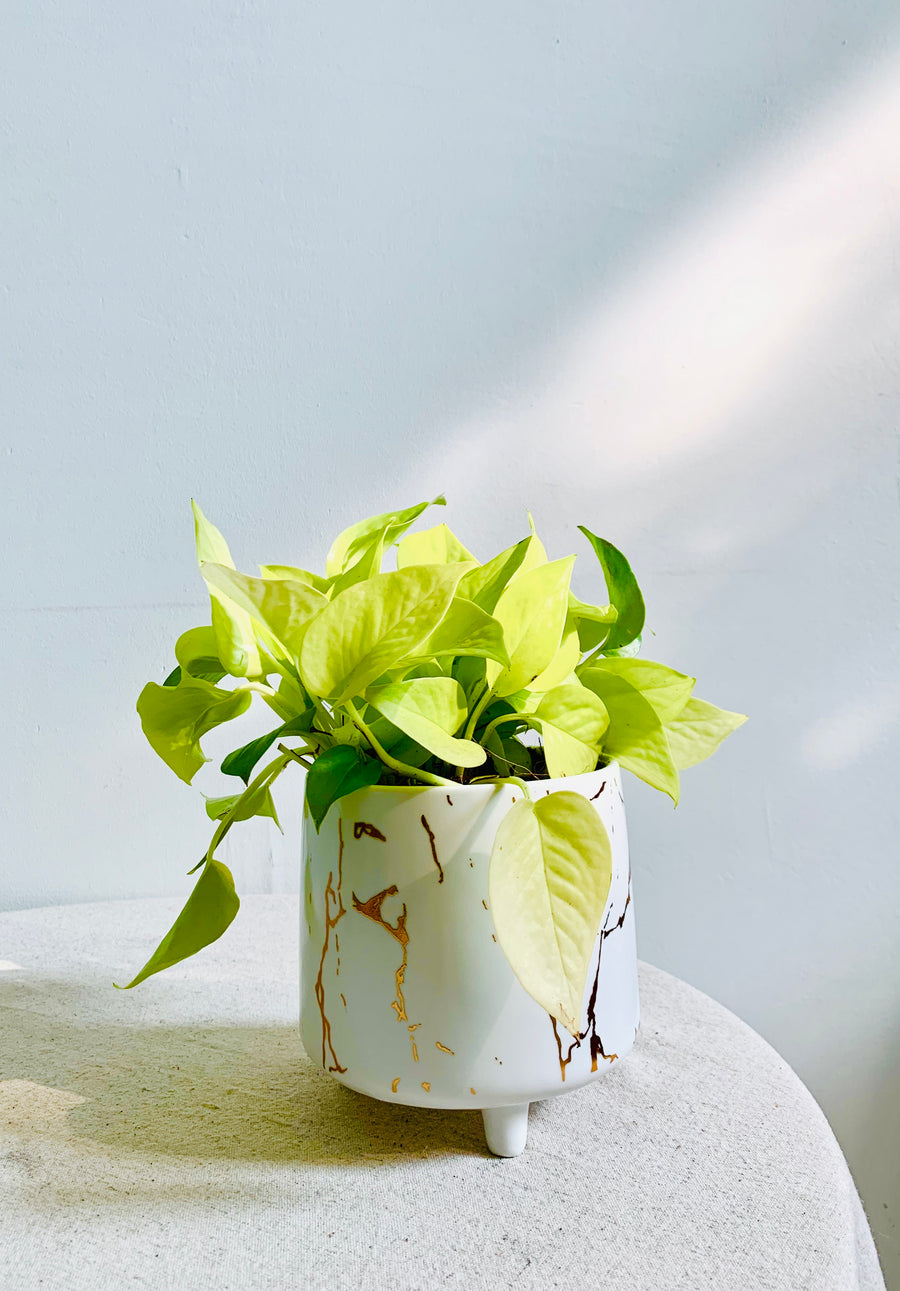 Serene Marble Collection : Pothos in Small