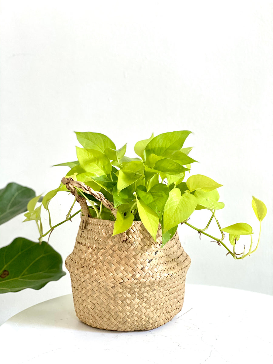 Pothos Plant in Seagrass Basket