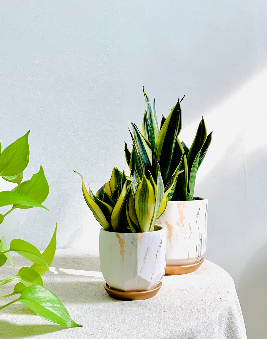 Serene Marble Collection : Sansevieria in Small White Planter