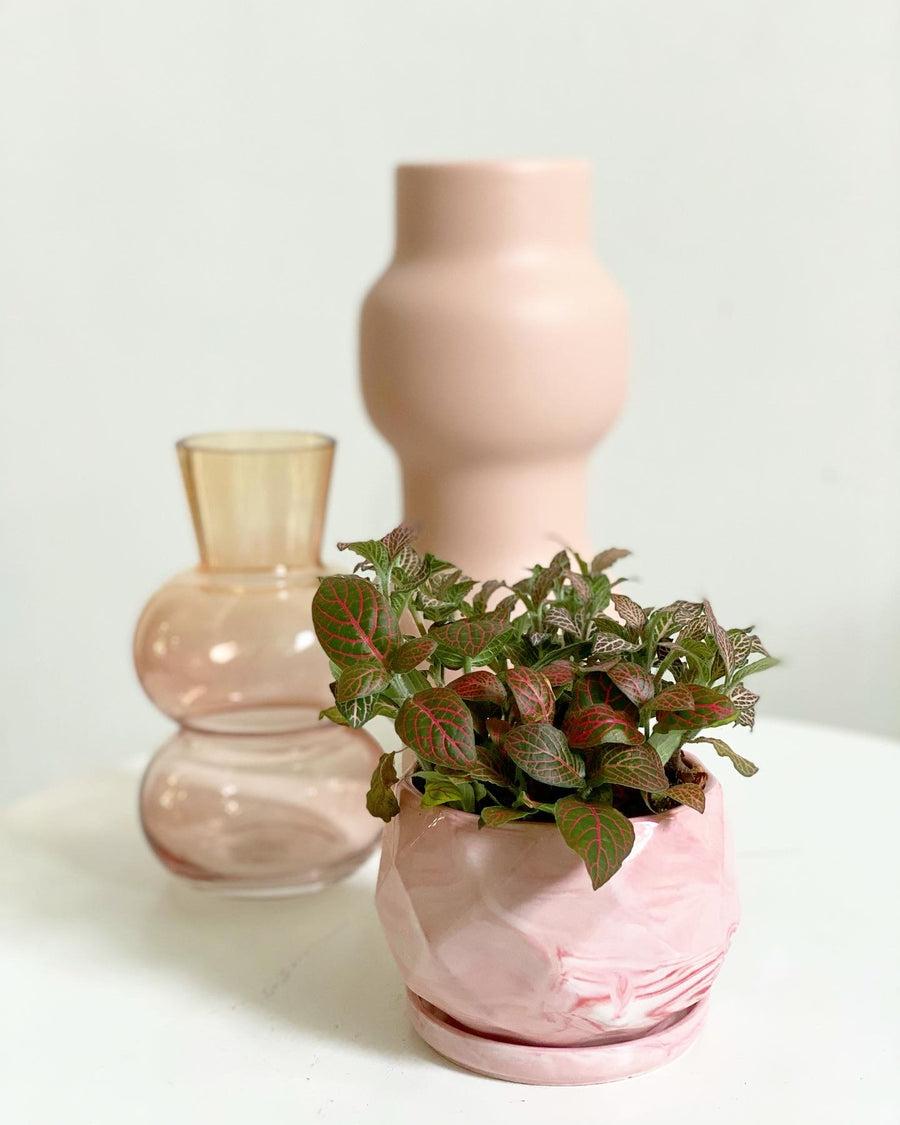 Fittonias in Pink Marble Planter