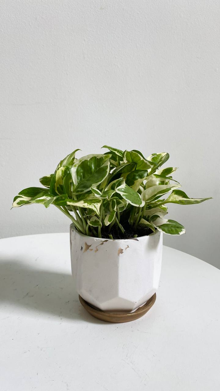 Serene Marble Collection : Pothos in Small White Planter