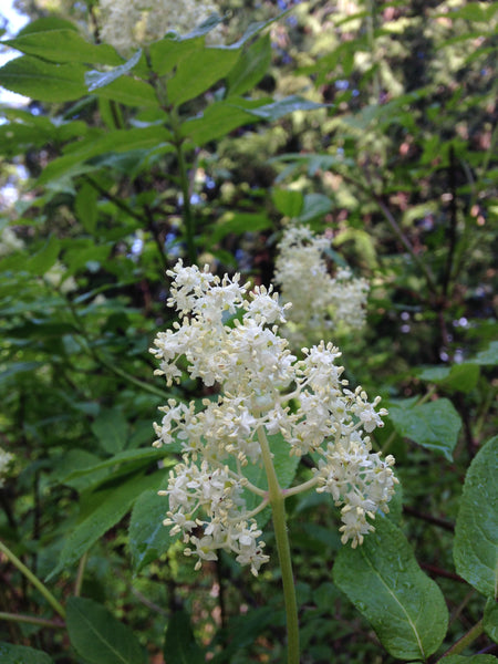 Elderflower in the forest