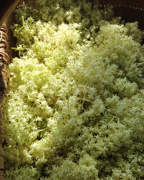 Elderflower foraged