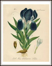 Load image into Gallery viewer, Purple Iris Botanical Illustration Print Framed In A Simple Black Metal Frame