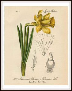 Yellow Narcissus Daffodil German Botanical Illustration Framed In A Simple Black Frame