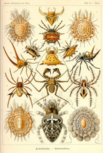Load image into Gallery viewer, Ernst Haeckel Arachnids Spiders Plate 66 Art Print