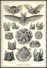 Load image into Gallery viewer, Ernst Haeckel Vampire Bats Chiroptera Print Framed In A Simple Black Metal Frame