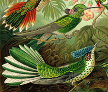 Load image into Gallery viewer, Ernst Haeckel Hummingbirds Plate #99 Close Up