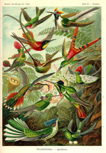 Load image into Gallery viewer, Ernst Haeckel Hummingbirds Plate #99