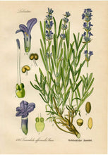 Load image into Gallery viewer, Lavender Botanical Drawing