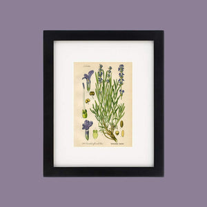 Lavender Botanical Drawing In A Simple Black Wood Frame