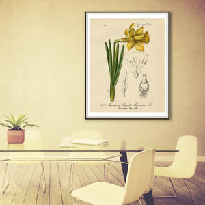 Yellow Narcissus Daffodil German Botanical Illustration Framed & Hanging On The Wall In A Lunchroom