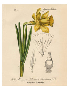 Yellow Narcissus Daffodil German Botanical Illustration