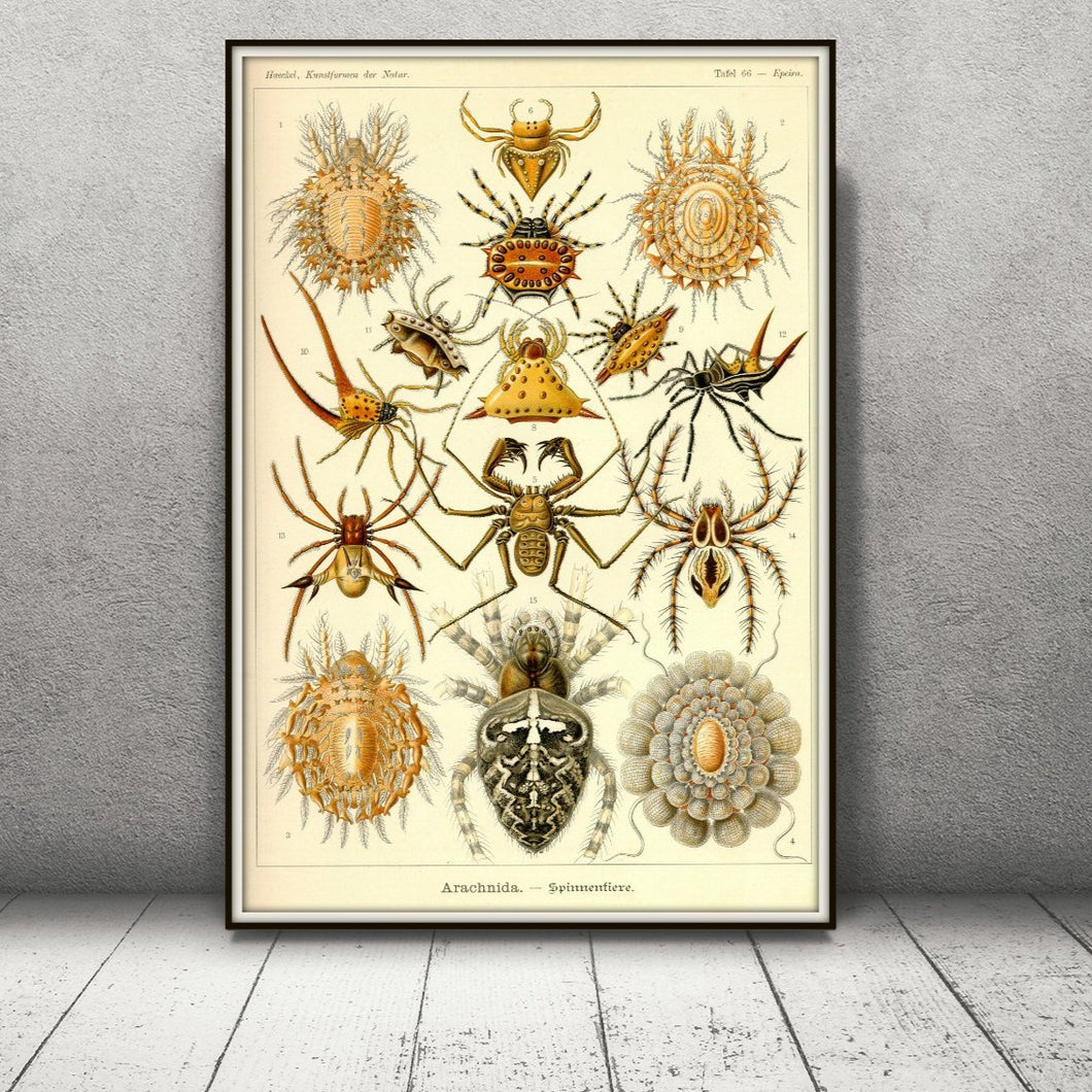 Ernst Haeckel Arachnids Spiders Plate 66 Art Print Framed Leaning Against The Wall