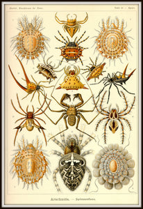 Ernst Haeckel Arachnids Spiders Plate 66 Art Print Framed In A Simple Black Metal Frame