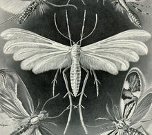 Load image into Gallery viewer, Ernst Haeckel Moths Tineida Art Print Closeup