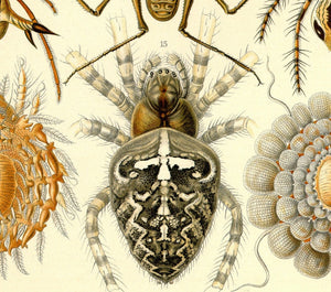 Ernst Haeckel Arachnids Spiders Plate 66 Art Print Close Up