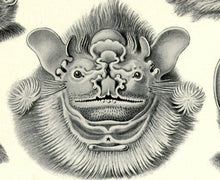 Load image into Gallery viewer, Ernst Haeckel Vampire Bats Chiroptera Print Closeup