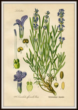 Load image into Gallery viewer, Lavender Botanical Drawing In A Simple Black Metal Frame