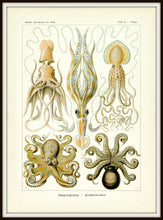 Load image into Gallery viewer, Ernst Haeckel Octopus Scientific Illustration Art Print Simple Black Metal Frame