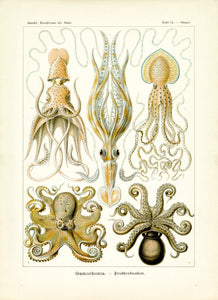 Ernst Haeckel Octopus Scientific Illustration Art Print