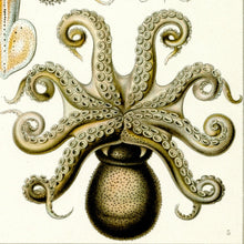 Load image into Gallery viewer, Ernst Haeckel Octopus Scientific Illustration Art Print Closeup