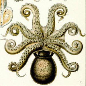 Ernst Haeckel Octopus Scientific Illustration Art Print Closeup