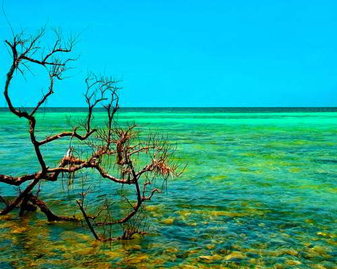 Mangrove at the Key