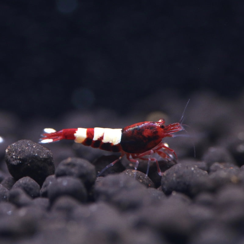 Red Pinto Shrimp