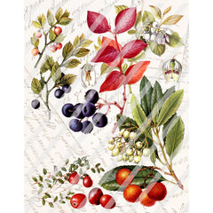 "Antique Style Fall Berries 8-1/2"" x 11"" Paper Print"
