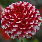 Dahlia 'Little William'