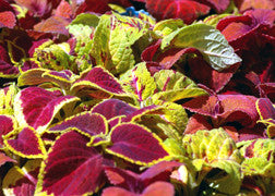 Coleus (Carefree Mix)