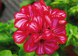 Hanging Basket - Geranium (Freestyle Arctic Red)