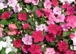 Impatiens (Elfin Mix)