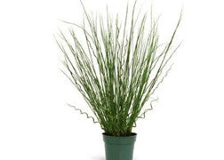 Juncus (Twisted Arrows)