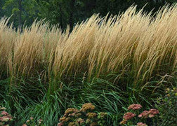 Feather Reed Grass (Karl Foerster)