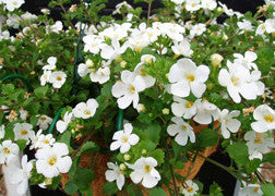 Bacopa (White)