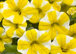 Calibrachoa (Lemon Slice)